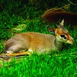 Dik-Dik