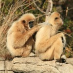 White-handed Gibbons