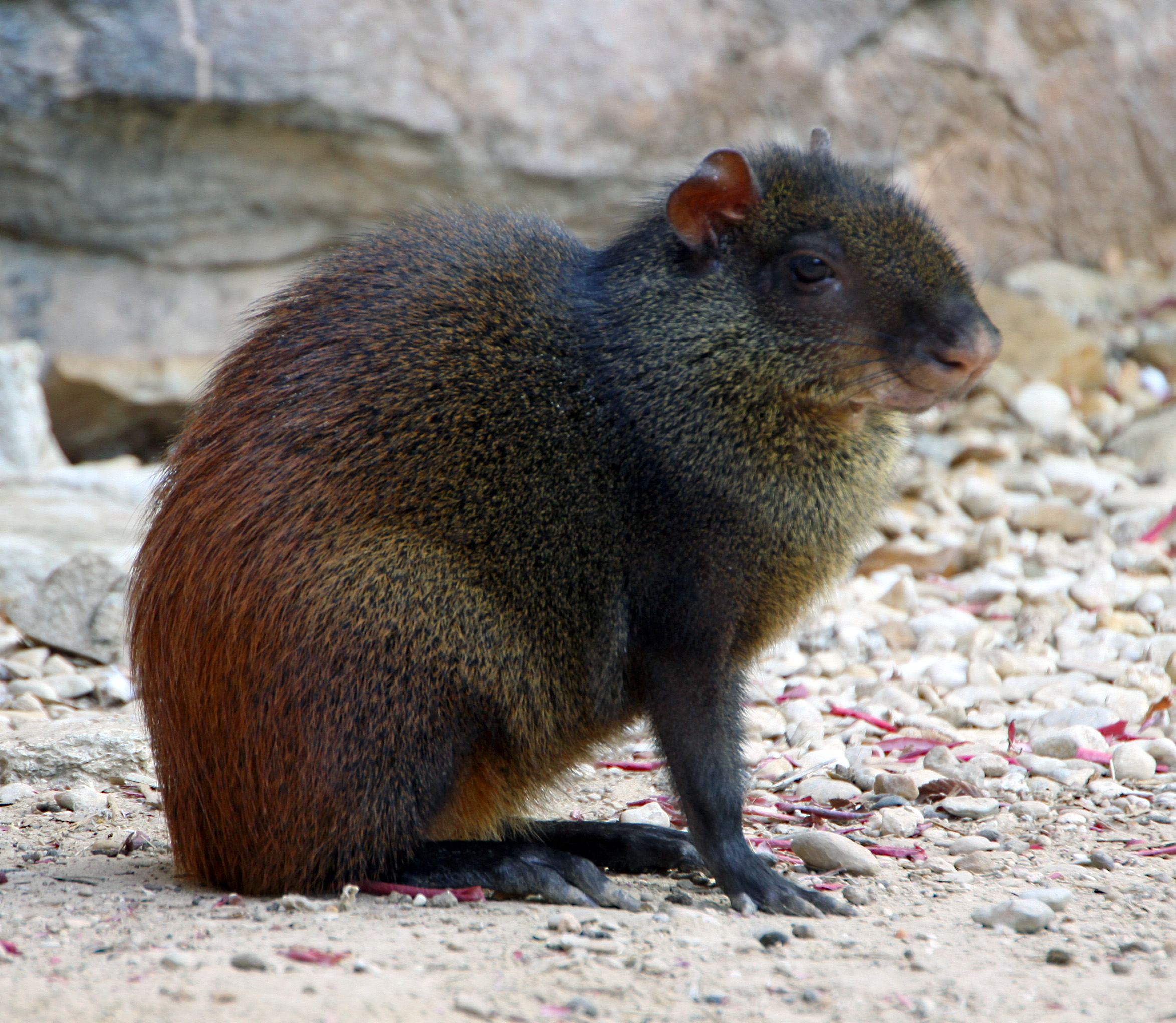 This forest dwelling mammal can be found from southern mexico to