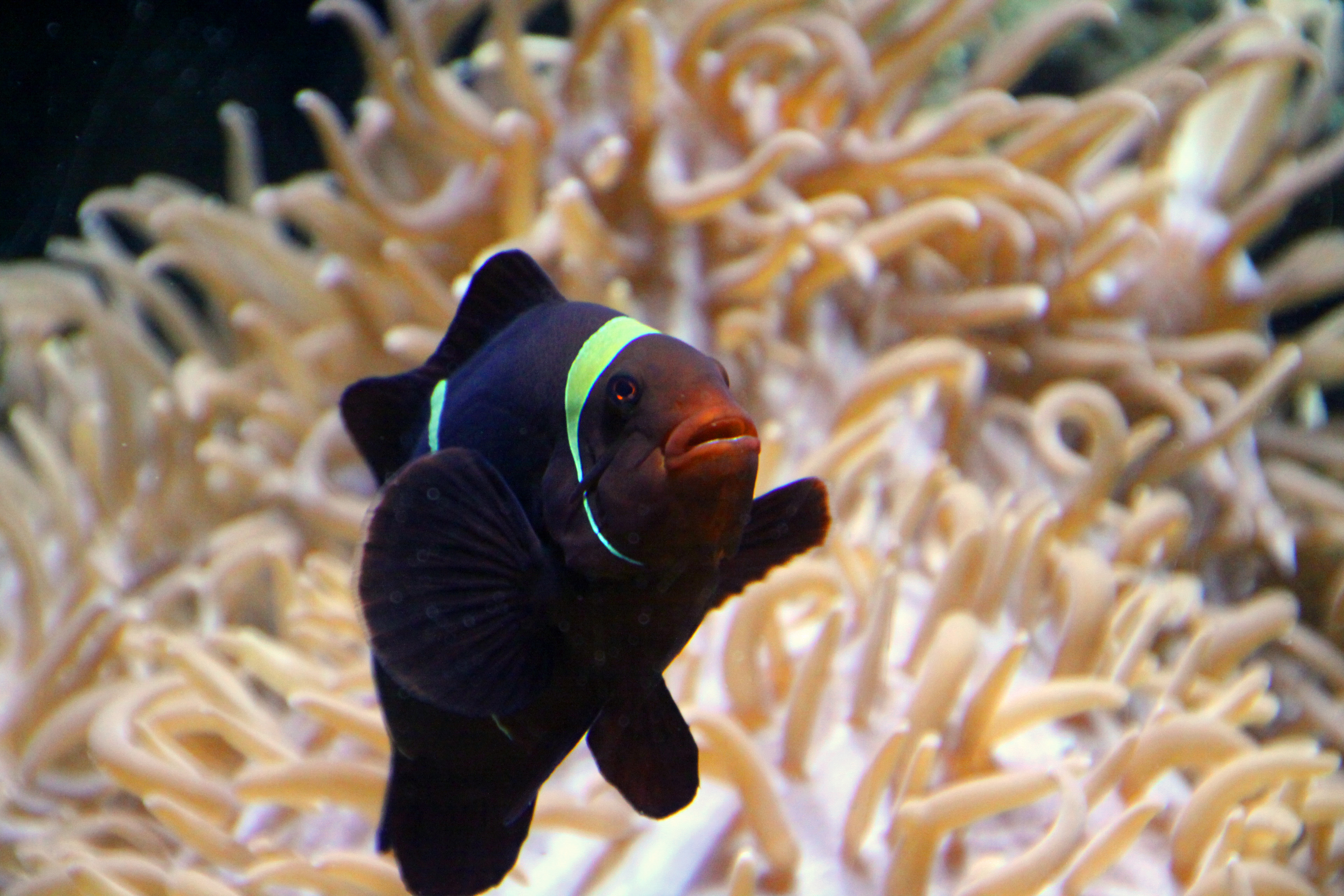 Black clownfish anemone for Clown fish facts